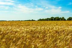 Goldenes Weizenfeld und sonniger Tag Lizenzfreie Stockbilder