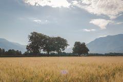 Goldenes Weizenfeld und sonniger Tag lizenzfreies stockbild
