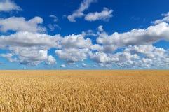 Goldenes Weizenfeld unter blauem Himmel Stockbilder