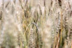 Goldenes Weizengras auf dem Gebiet am Herbst Stockfotos