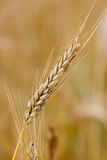 Goldenes Weizenohr Lizenzfreie Stockbilder