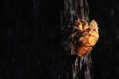 Goldenes Zikadenoberteil gegen gebrannten schwarzen Baum Lizenzfreies Stockfoto