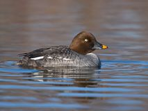 Goldeneye foto de stock royalty free