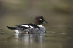 Goldeneye, Bucephala clangula Royalty Free Stock Photo