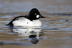 Goldeneye, Bucephala clangula Royalty Free Stock Images
