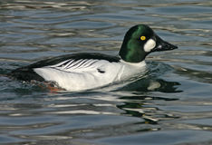 Goldeneye commun photo stock
