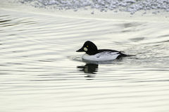 Goldeneye commun photo libre de droits
