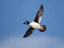 Goldeneye comum em voo com um fundo do céu azul Foto de Stock