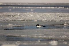 Goldeneye dans l'eau glaciale Photographie stock libre de droits