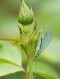 Goldeneye del insecto (latín Chrysopidae) Imagen de archivo libre de regalías