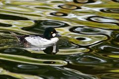 Goldeneye drake, swimming on rippling water. Adult Common Goldeneye drake, swimming on rippling water Royalty Free Stock Photos
