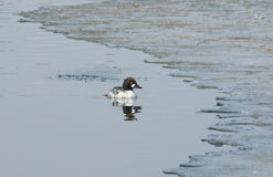 Goldeneye Duck drake Stock Images