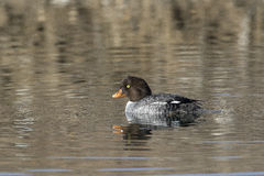 Goldeneye duck, female,  swimming in water of lake in autumn Royalty Free Stock Images