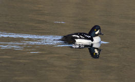Goldeneye duck swimming in water of lake in autumn Royalty Free Stock Photos