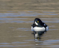 Goldeneye duck swimming in water of lake in autumn Royalty Free Stock Images
