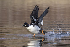 Goldeneye duck walks on water with wings stretched Royalty Free Stock Photography