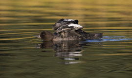 Goldeneye duck wing stretch in golden water Royalty Free Stock Images