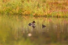 Goldeneye with duckling Stock Photo