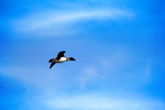Goldeneye, mâle dans le plumage d'élevage en vol Images libres de droits