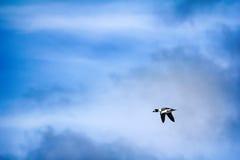 Goldeneye, male in breeding plumage in flight Royalty Free Stock Photos