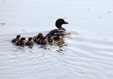 Goldeneye mother and babies Royalty Free Stock Photography