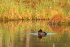 Goldeneye preening Royalty Free Stock Photography