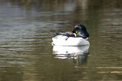 Goldeneye preens itself in water. Royalty Free Stock Images