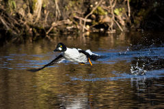 Goldeneye taking off Stock Photography