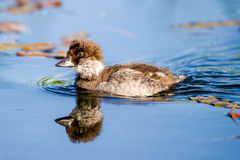 Goldeneye young Royalty Free Stock Photos