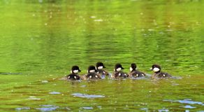 Goldeneyes chicks Royalty Free Stock Photography