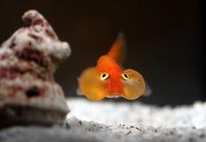 Goldenfish Stock Photo