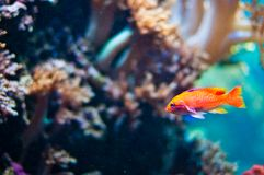 Goldenfish Stock Images