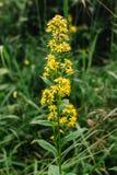 Goldengende eller Solodago virgaurea En fluga sitter på en blommaGoldenrod är van vid förminskar smärtar och svälla, som ett arkivbilder