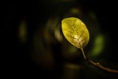 goldenleaf Fotografia Stock Libera da Diritti