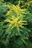 Goldenrain树花 库存图片