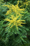 Goldenrain drzewa kwiaty Obrazy Stock