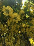 Goldenrain drzewo Obrazy Royalty Free