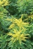 Goldenrain flowers Stock Image