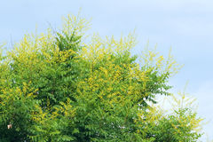 Goldenrain tree flowers Stock Photography