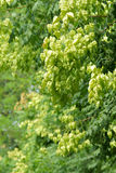 Goldenrain tree Stock Photography