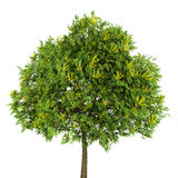 Goldenrain tree isolated on white Stock Photos
