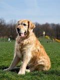 Goldenretriever op een gang in het park op een zonnige dag stock afbeeldingen