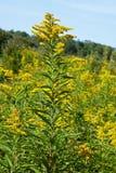 Goldenrod, господствующая высота в ландшафтах осени Стоковая Фотография RF