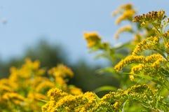 Goldenrod цветок Стоковая Фотография