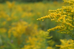 Goldenrod. Ontario. Shallow depth of field. Room for text Stock Photography