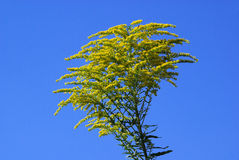 Goldenrod Royalty Free Stock Images