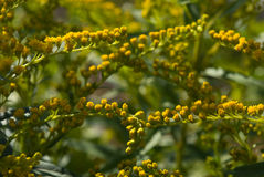 Goldenrod. Close-up of Goldenrod stalks with flowers Stock Photo
