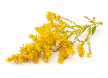 Goldenrod Royalty-vrije Stock Foto