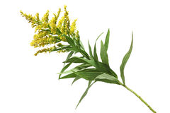 Goldenrod Royalty Free Stock Photography