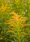 Goldenrod Stock Foto's